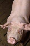 Porc dans une ferme Photographie stock
