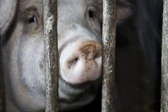 Porc dans une gamme de produits Photos libres de droits