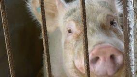 Porc dans une porcherie banque de vidéos