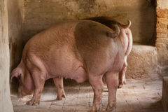 Porc dans une porcherie Photographie stock libre de droits