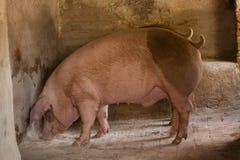 Porc dans une porcherie Image libre de droits
