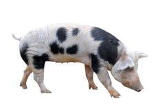 Porc de Bayeux Images libres de droits