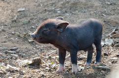 Porc de bébé avec les chaussettes blanches Photo libre de droits