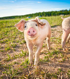 Porc de chéri Photos stock