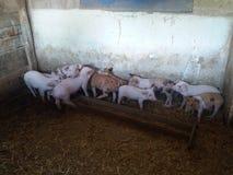 Porc de famille dans le village photographie stock libre de droits