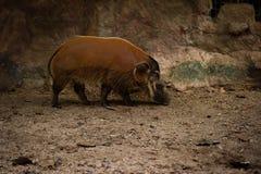 Porc de fleuve rouge image libre de droits