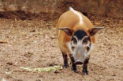 Porc de fleuve rouge Photos libres de droits