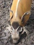 Porc de fleuve rouge dans la boue Image stock