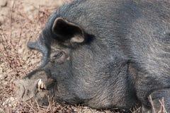 Porc de la Guinée Photos libres de droits
