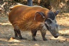 Porc de la rivière rouge Image libre de droits
