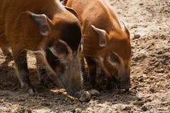 Porc de la rivière rouge avec des jeunes Image stock