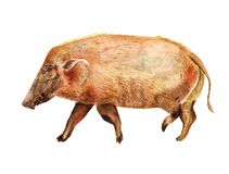 Porc de la rivière rouge d'aquarelle Photographie stock libre de droits