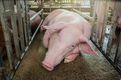 Porc de m?re et petit porcelet dans la ferme, porc ? la ferme de la Tha?lande photo libre de droits