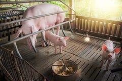 Porc de m?re et petit porcelet dans la ferme, porc ? la ferme de la Tha?lande images stock