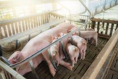 Porc de m?re et petit porcelet dans la ferme, porc ? la ferme de la Tha?lande photos libres de droits
