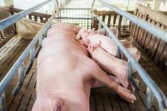 Porc de m?re et petit porcelet dans la ferme, porc ? la ferme de la Tha?lande photos stock