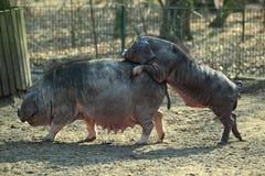 Porc de Meishan Images libres de droits