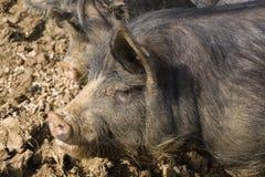 Porc de noir de Berkshire photographie stock libre de droits