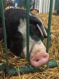 Porc de porcs se reposant dans une cage à une foire attendant pour être jugé images libres de droits