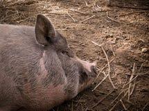 Porc de sommeil Photographie stock libre de droits