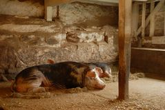 Porc de sommeil Photo libre de droits