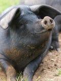 Porc de sourire Images libres de droits