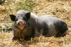 Porc de sourire Image libre de droits