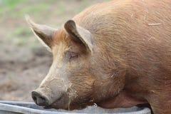Porc de Tamworth Images libres de droits