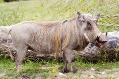 Porc de verrue Images stock