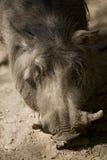 Porc de verrue Photos stock