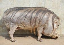 Porc de verrue Photos libres de droits