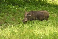 Porc de verrue alimentant sur l'herbe Image libre de droits