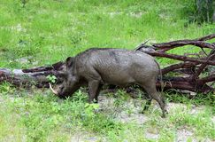 Porc de verrue avec l'arbre tombé Images libres de droits