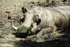 Porc de verrue faisant une sieste Photos libres de droits