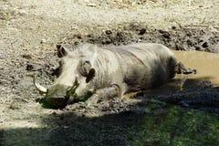 Porc de verrue faisant une sieste Image stock