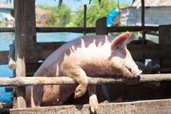 Porc demandant la nourriture Photo libre de droits