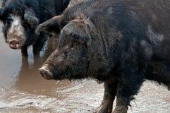 Porc deux noir photo libre de droits
