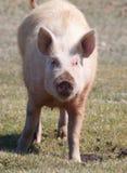 Porc domestique Image libre de droits