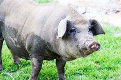 Porc domestique se tenant et regardant loin Images stock