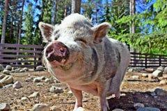 Porc drôle Photo libre de droits