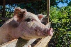 Porc du côté front Photographie stock