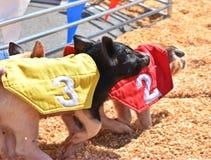 Porc emballant, iFair d'état de l'Oklahoma, Ville d'Oklahoma images libres de droits