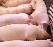 porc endormi dans la ferme de porc-élevage Photo stock