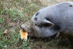 Porc et pain Photographie stock