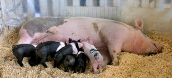 Porc et porcelets Photographie stock