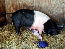 Porc et porcelets de Berkshire images libres de droits