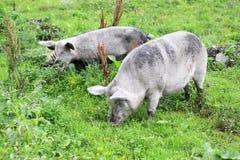 Porc et veau domestiques. Photo libre de droits