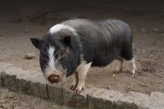 Porc gonflé par bac photo libre de droits