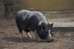 Porc gonflé par pot à une ferme Photo stock