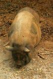 Porc gonflé par pot Image stock